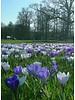Dutch crocus - crocus vernus Jeanne d'Arc - chemical-free grown