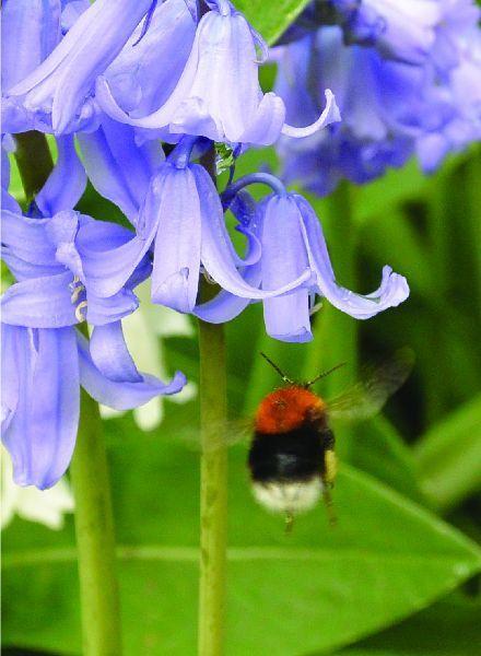 Hyacinthoides non-scripta Blue