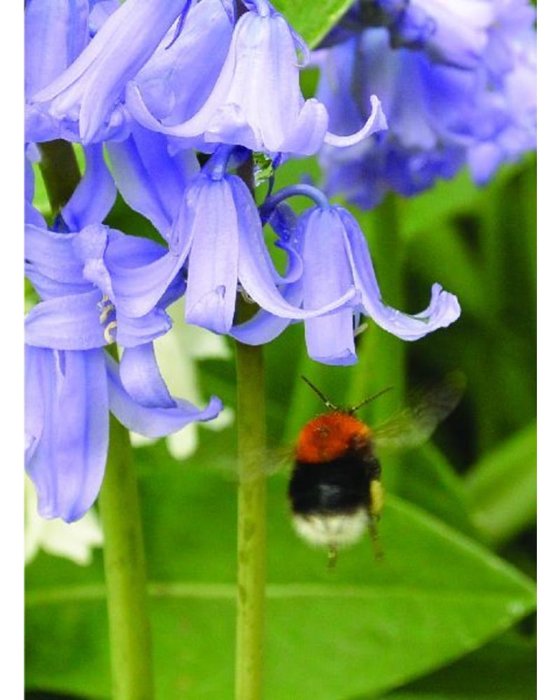 Bluebell - hyacinthoides non-scripta Blue  -chemicalfree grown