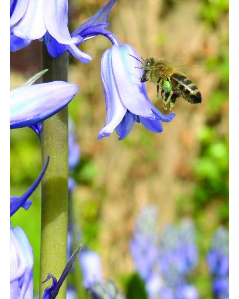 Bluebell - hyacinthoides non-scripta Blue  - chemical-free grown
