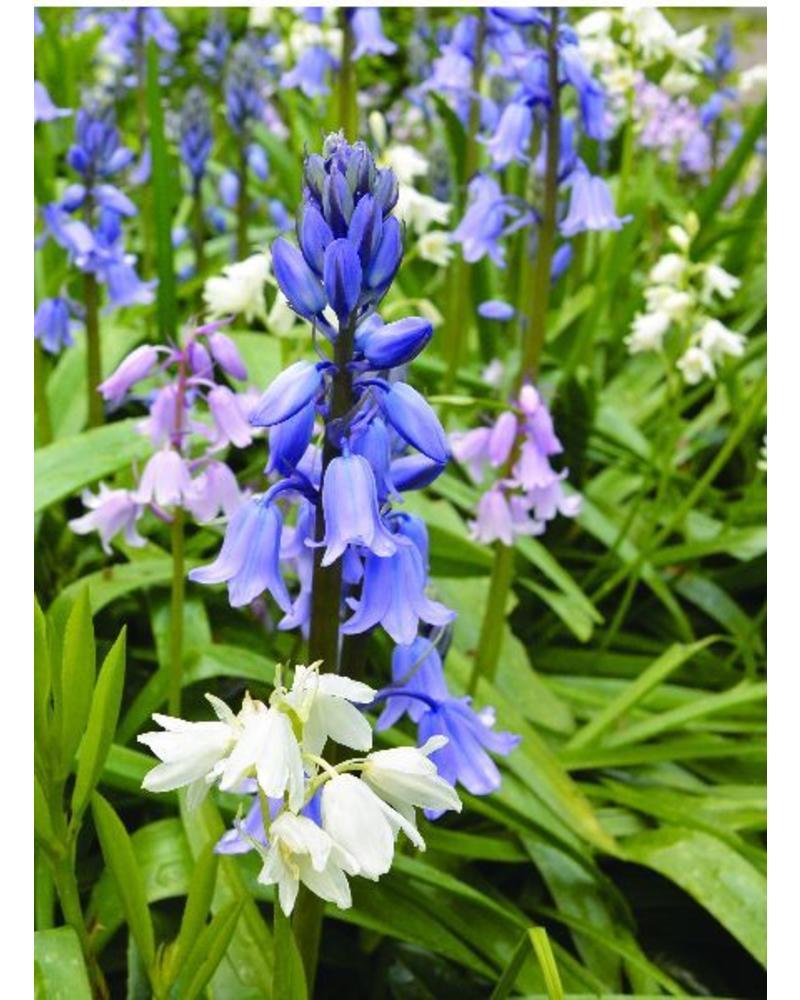 Blauwe Boshyacint - hyacinthoides non-scripta blue - chemievrij geteeld