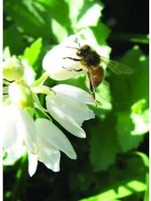 Hyacinthoides non-scripta White