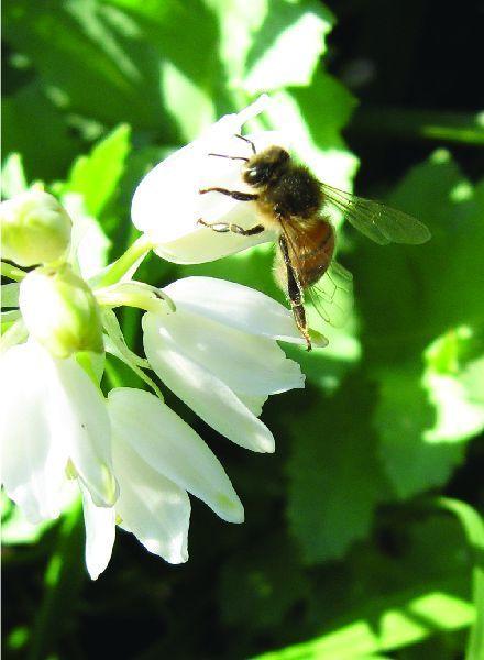 Hyacinthoides non-scripta Alba
