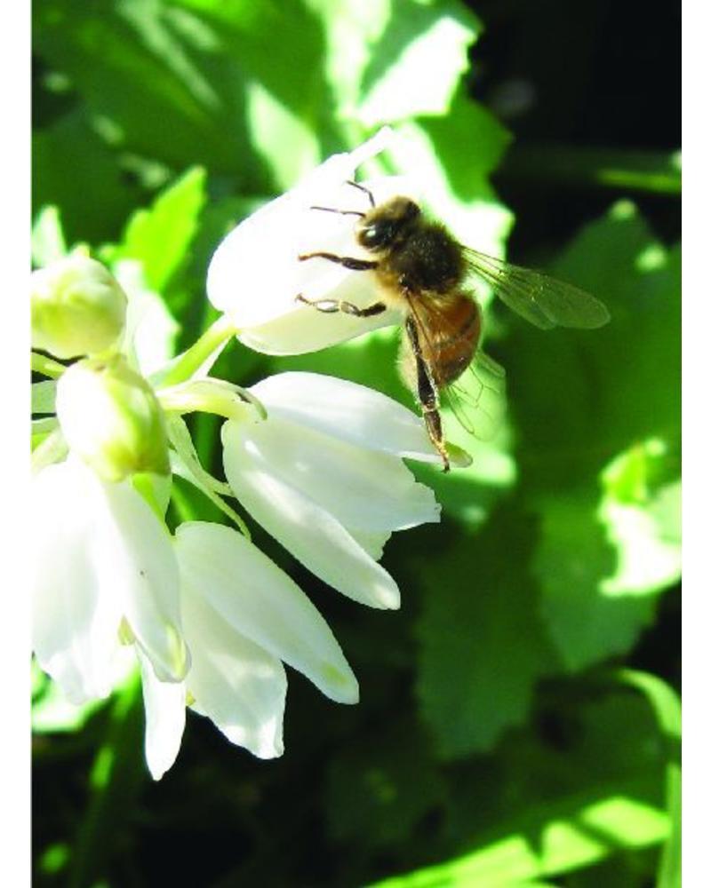 Witte Boshyacint - hyacinthoides non-scripta white - chemievrij geteeld
