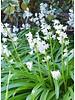 Bluebell - hyacinthoides non-scripta alba - chemical-free grown