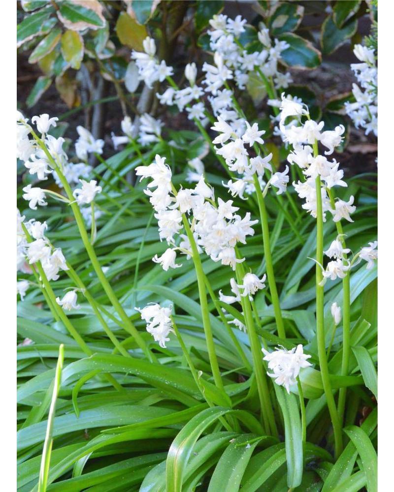 Bluebell - hyacinthoides non-scripta white