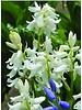 Atlantisches Hasenglöckchen - hyacintoides non scripta alba - chemiefreier Anbau