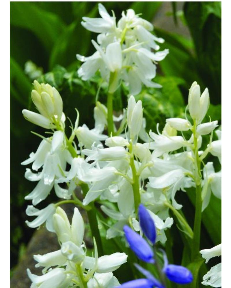 Bluebell - hyacinthoides non-scripta white - chemicalfree grown
