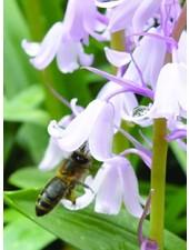 Hyacinthoides non-scripta Pink