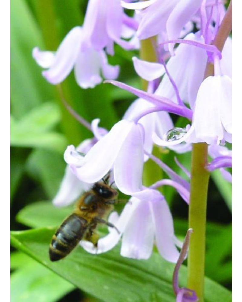 Bluebell - hyacinthoides non-scripta pink - chemical free grown