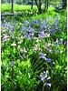 Bluebell - hyacinthoides non-scripta pink - chemicalfree grown
