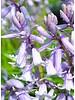 Atlantisches Hasenglöckchen - hyacintoides non scripta rosa - ohne Chemie gezüchtet
