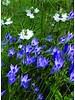 Ithuriel's speer - brodiaea corrina - ohne Chemie gezüchtet