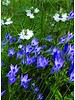 Ithuriel's speer - brodiaea corrina