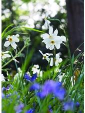 Narcissus Recurvus poeticus