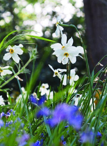 Narcis Recurvus poeticus