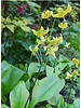 Hondstand - erythronium pagoda  - chemievrij geteeld