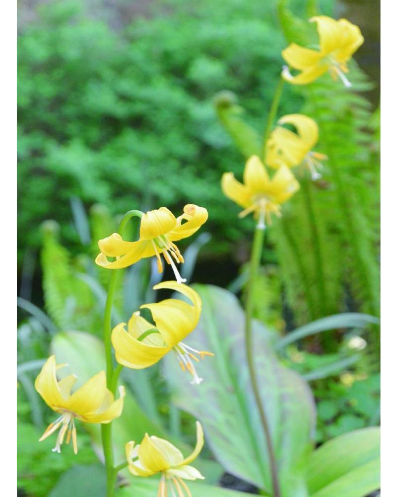 Dog's tooth - erythronium pagoda
