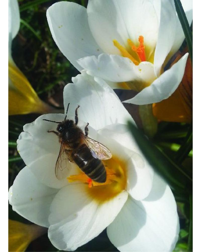 Botanical crocus - crocus tommasinianus Snow Bunting