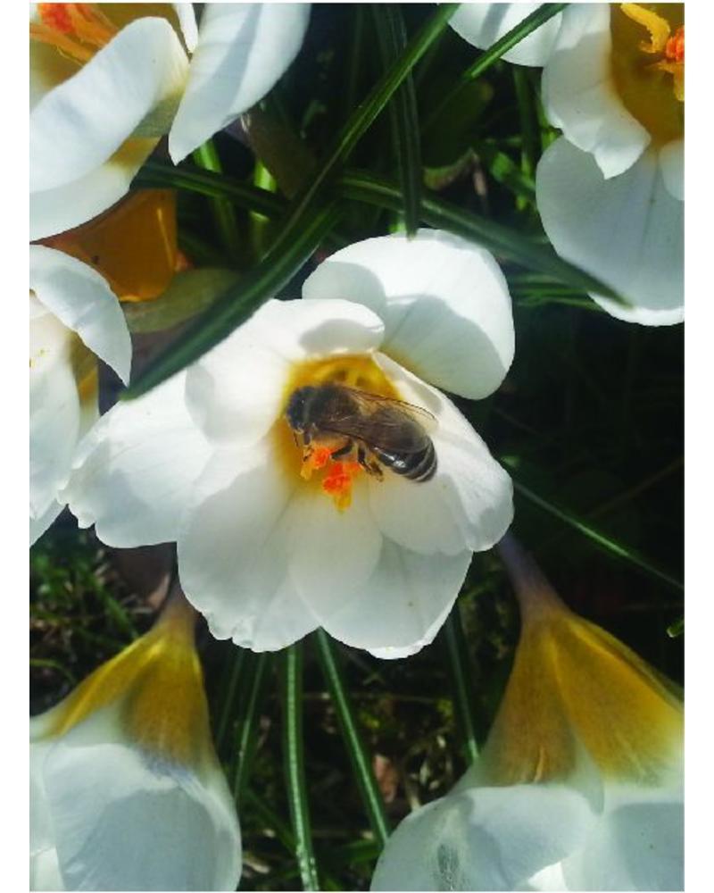 Boerenkrokus Snow Bunting  - crocus tomassinianus - snow bunting - chemievrij geteeld