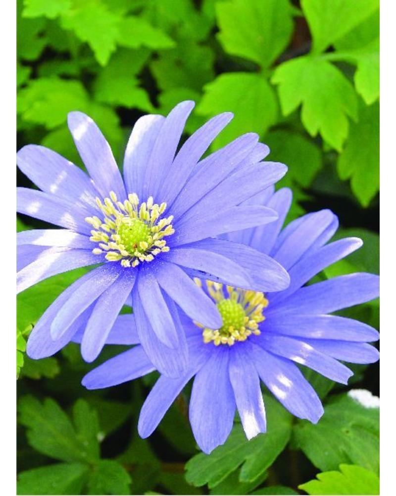 Strahlenanemone - Anemone blanda blue shades - ohne Chemie gezüchtet