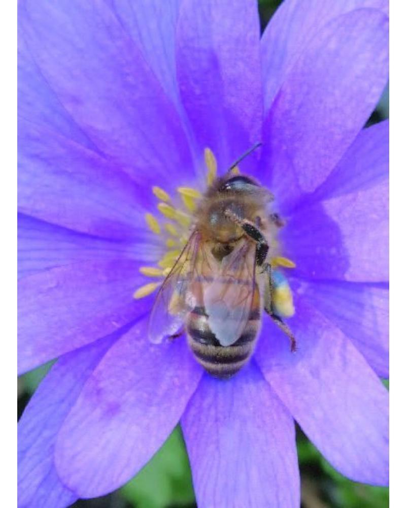 Strahlenanemone - Anemone blanda blue shades - chemiefreier Anbau