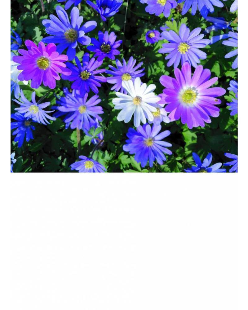 Balkan anemone or Grecian wildflower - anemone blanda - chemical free grown