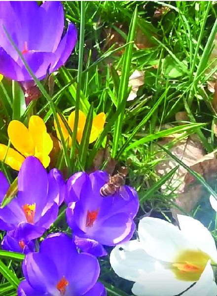 Crocus tom.  mix