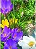 Boerenkrokus mix  - crocus tomassinianus mix - chemievrij geteeld