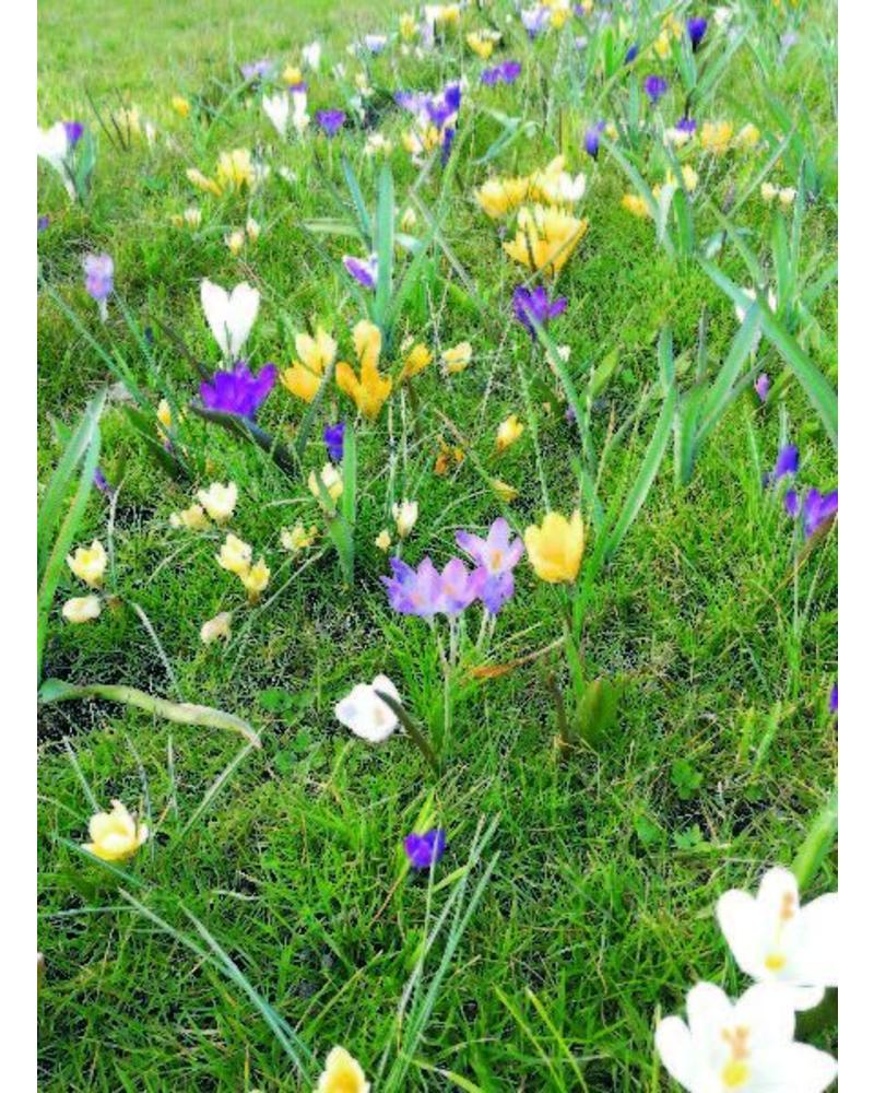 Early crocus mix - crocus tommasinianus mix - chemical free grown