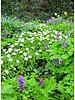 Wood anemone - anemone nemerosa - grown free of chemicals