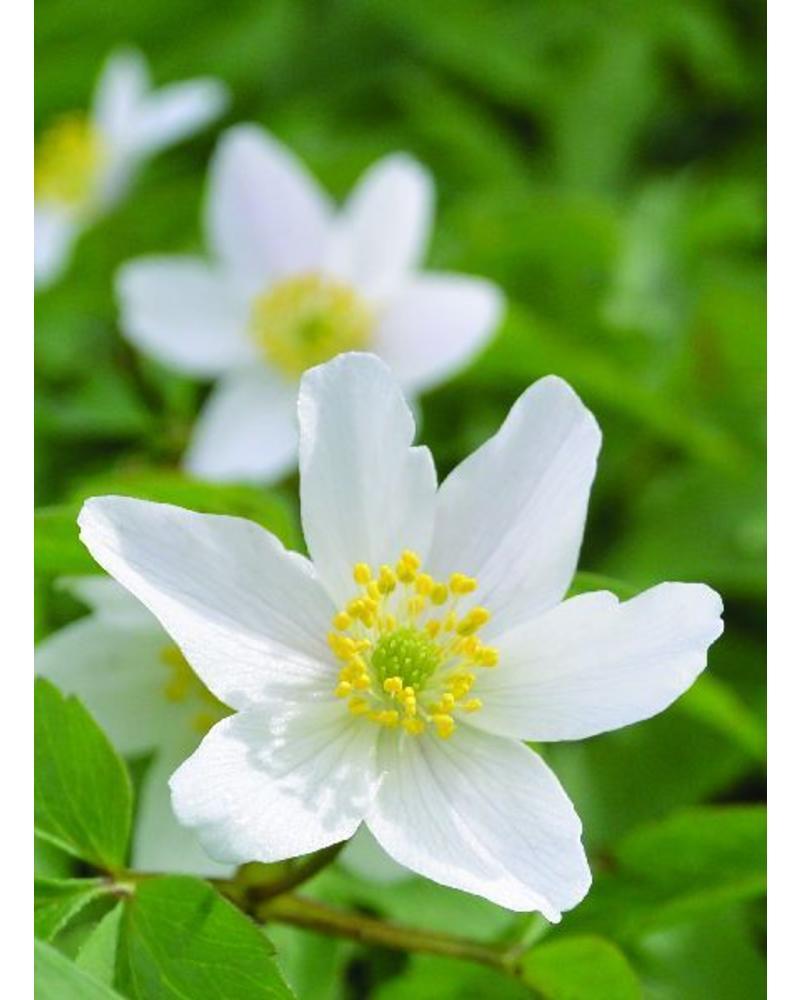 Bos Anemoon - anemone nemerosa