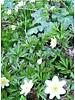 Bos Anemoon - anemone nemerosa - chemievrij geteeld