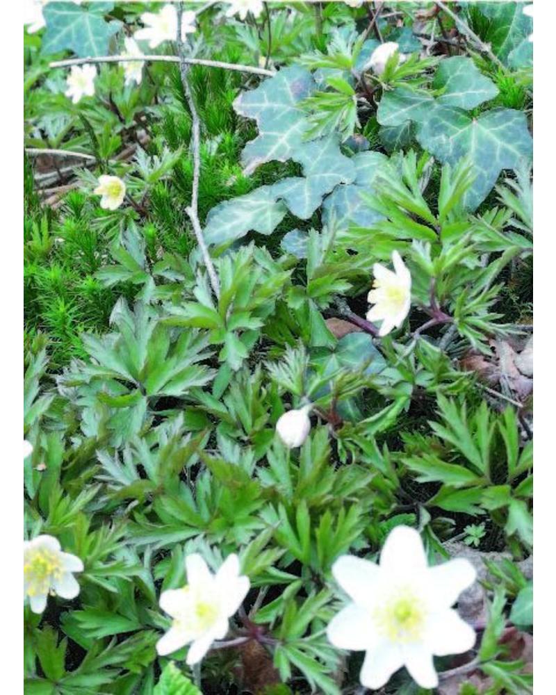 Weisses Buschwindröschen - anemone nemerosa -ohne Chemie gezüchtet