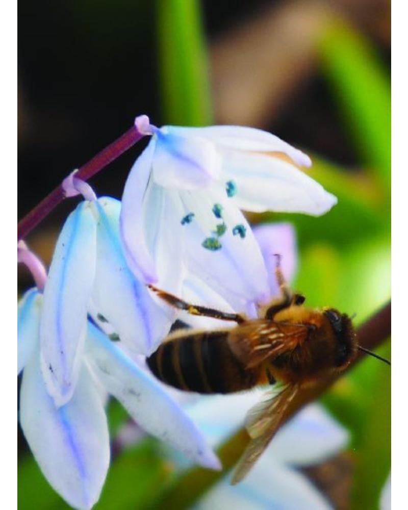 Witte Sterhyacint - scilla mischtschenkoana