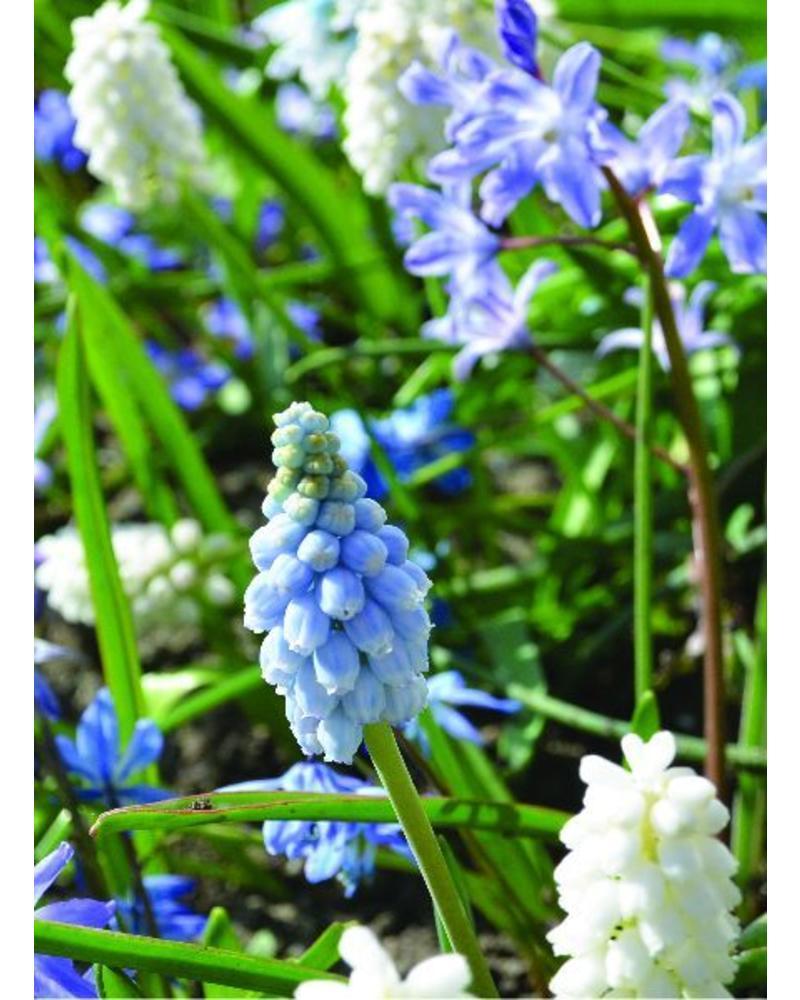Grape hyacinth - muscari Valerie Finnis