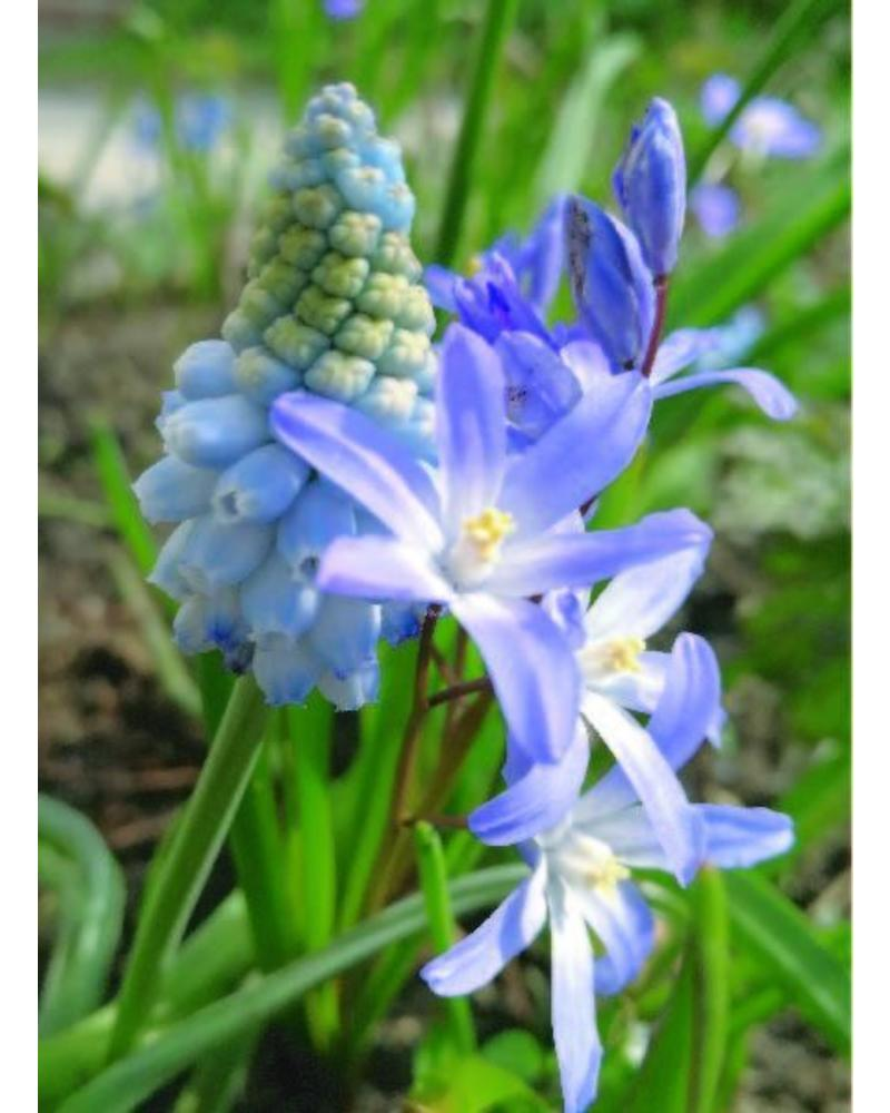 Druifje lichtblauw - muscari valerie finnis - chemievrij geteeld