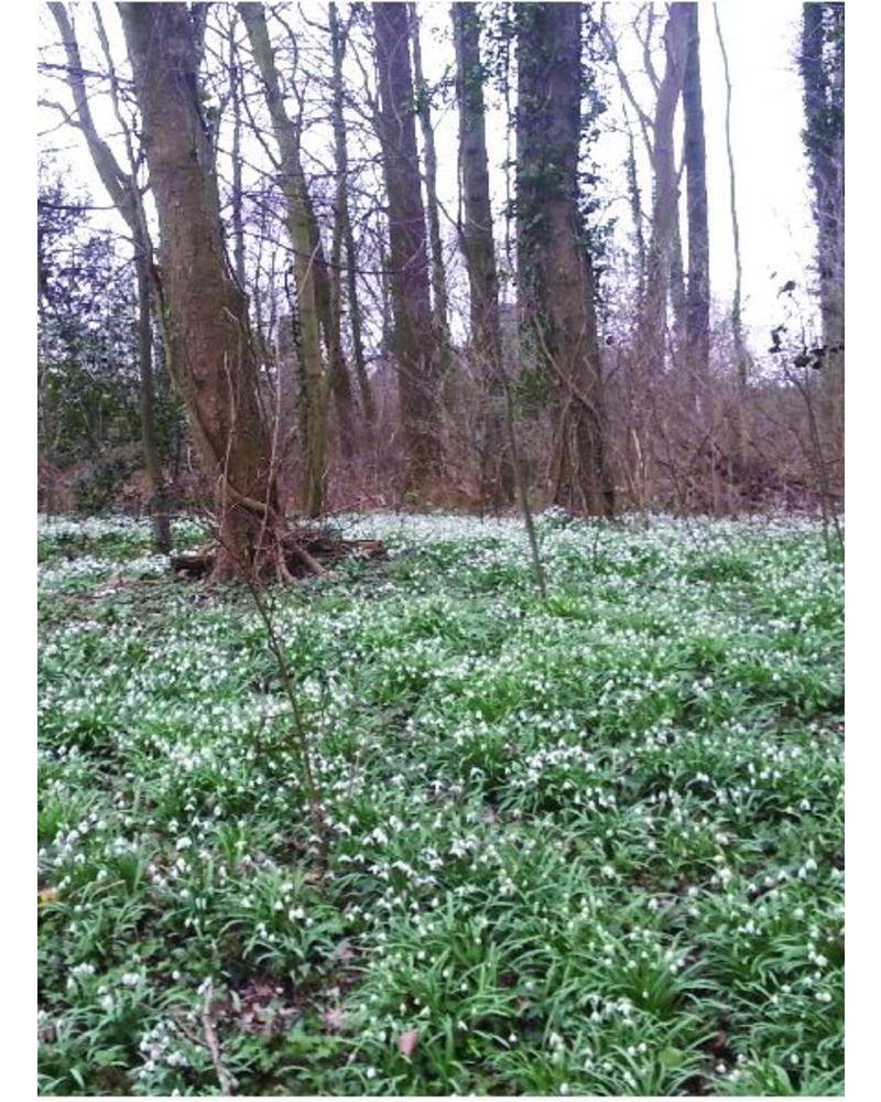 Snow drop - galanthus nivalis
