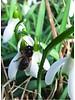 Sneeuwklokje - galanthus nivalis - chemievrij geteeld