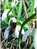 Sneeuwklokje -  galanthus nivalis