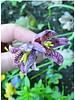 Snake's head fritillary - fritillaria meleagris