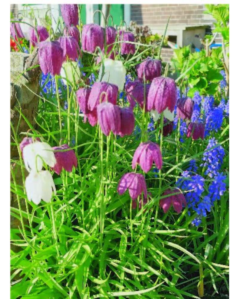 Kiew Blume - fritillaria meleagris  -chemiefreier Anbau