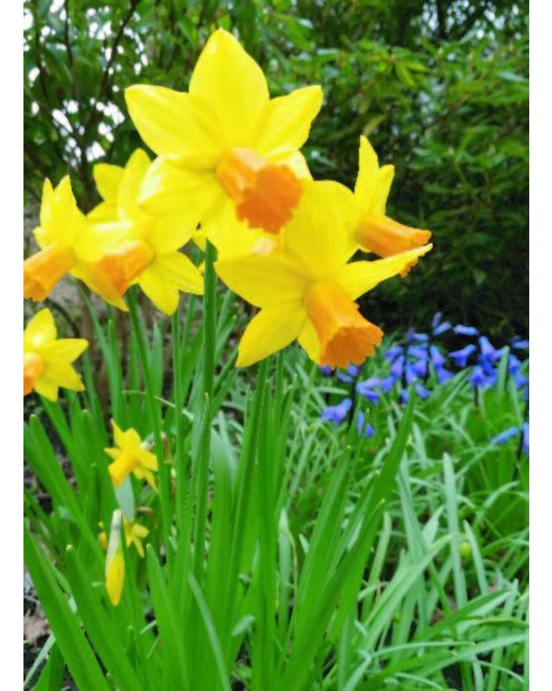 Narcissus Jetfire jonquilla