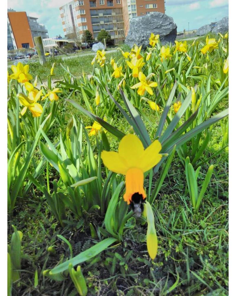 Daffodil Jetfire  - chemical free grown