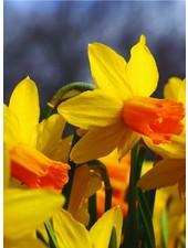 Narcissus Jetfire, jonquilla