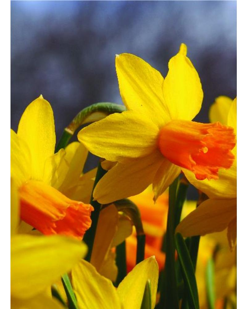 Narcissus Jetfire - chemiefreier Anbau