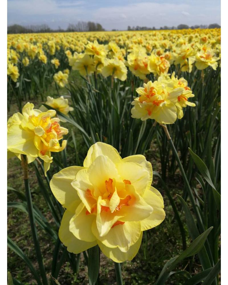 Narcissus Tahiti,  double
