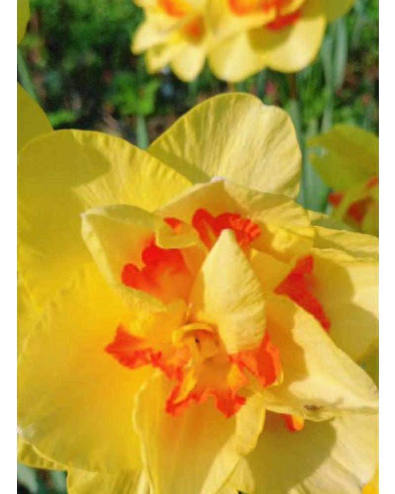 Narcis Tahiti,  double