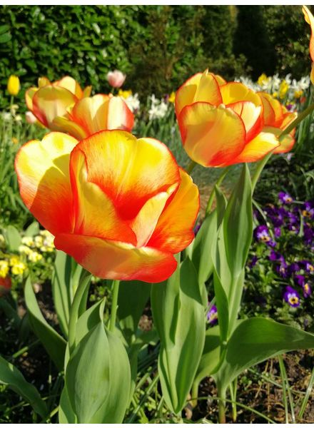 Tulipa Beauty of Spring
