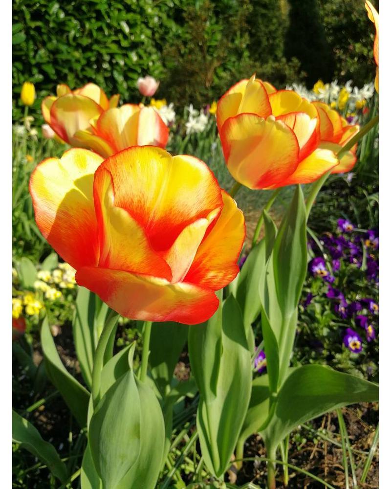 Tulipa Beauty of Spring,  darwin hybrid